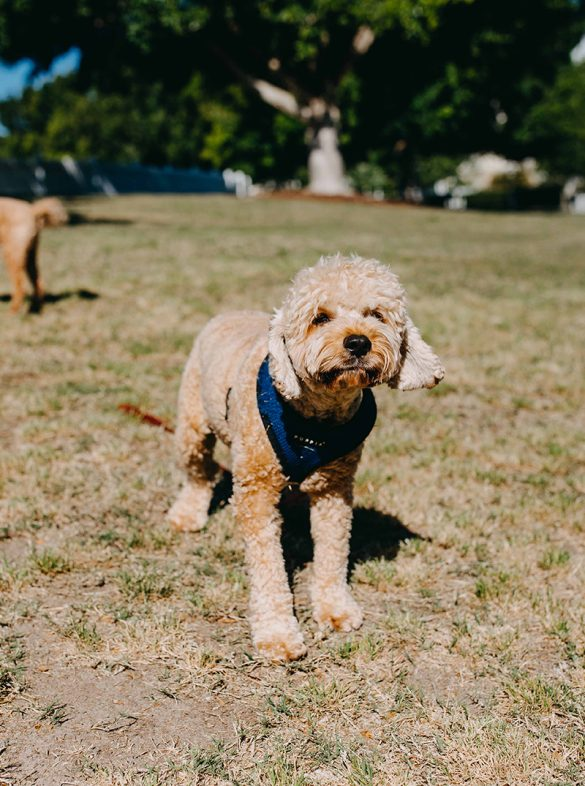 Pooches#2137-Frankie-Cavoodle
